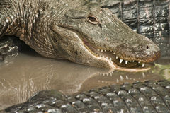 alligatorcloseup Arkivbild