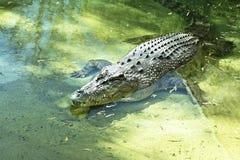 Alligatordamm Arkivbild
