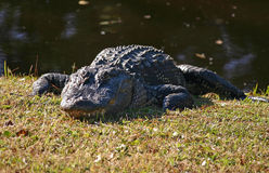 Alligatore 2 Fotografia Stock Libera da Diritti
