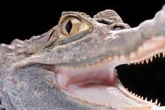 Alligatore Immagini Stock Libere da Diritti