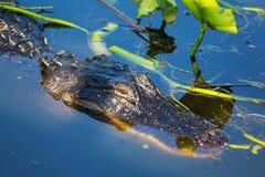 Alligatore Fotografia Stock Libera da Diritti