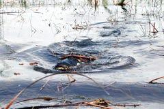 Alligatore Immagine Stock