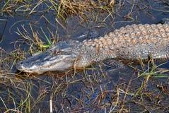 Alligatore 1 Fotografia Stock Libera da Diritti