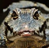 Alligatore Fotografia Stock