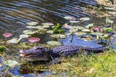 Alligatore Fotografie Stock Libere da Diritti