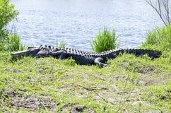 Alligatore Immagini Stock