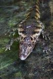 Alligatore in acqua Immagine Stock