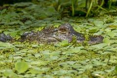 Alligatore in acqua Immagini Stock Libere da Diritti