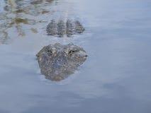 Alligatore in acqua Fotografie Stock Libere da Diritti