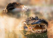 Alligatore in acqua con i denti e la rappresentazione della coda Immagine Stock