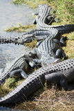 Alligatore ai terreni paludosi, Florida, U.S.A. Fotografia Stock
