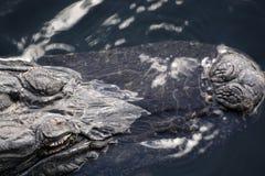 Alligatore ai terreni paludosi, Florida, U.S.A. Immagine Stock Libera da Diritti