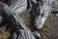 Alligatore ai terreni paludosi, Florida, U.S.A. Fotografie Stock Libere da Diritti