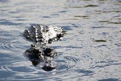 Alligatore ai terreni paludosi, Florida, U.S.A. Fotografia Stock Libera da Diritti
