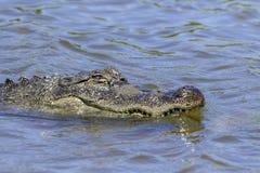 Alligatore al centro del sud di Birding dell'isola di cappellano Fotografie Stock