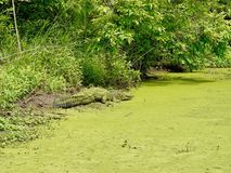 Alligatore al ramo paludoso di fiume della Luisiana Immagini Stock Libere da Diritti