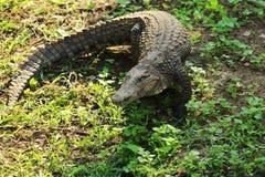 Alligatore alla ricerca di alimento Fotografia Stock Libera da Diritti