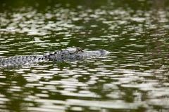 Alligatore alla riserva del cittadino di Okefenokee Fotografie Stock