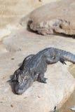 Alligatore alla riserva naturale del rettile e dell'animale Immagine Stock Libera da Diritti