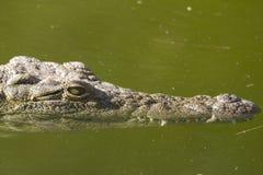 Alligatore (alligator mississippiensis) Fotografie Stock Libere da Diritti