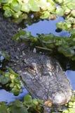 Alligatore (alligator mississippiensis) Fotografie Stock
