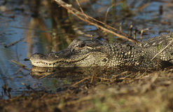 Alligatore (alligator mississippiensis) in palude Fotografia Stock Libera da Diritti