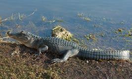 Alligatore americano Immagine Stock Libera da Diritti