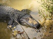 Alligatore americano Fotografie Stock