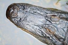 Alligatore americano Fotografia Stock Libera da Diritti