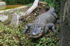 Alligatore americano Immagini Stock Libere da Diritti