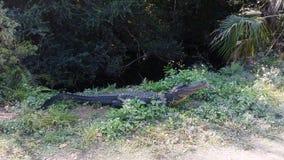 Alligatore americano al parco nazionale dei terreni paludosi in Florida stock footage