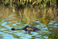 Alligatore americano, alligator mississippiensis Immagine Stock
