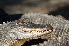 Alligatore americano, alligator mississippiensis Fotografie Stock