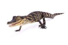 Alligatore americano, alligator mississippiensis Immagine Stock Libera da Diritti