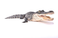 Alligatore americano, alligator mississippiensis Fotografia Stock Libera da Diritti