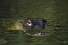 Alligatore americano (alligator mississippiensis) in Na dei terreni paludosi Immagini Stock Libere da Diritti