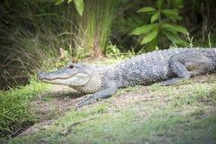 Alligatore americano amichevole sulle banche della palude Immagini Stock Libere da Diritti