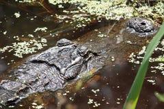 Alligatore americano appostantesi Immagine Stock Libera da Diritti