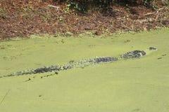 Alligatore americano, cercante isola, Sc, alligatore Mississippietes Immagine Stock