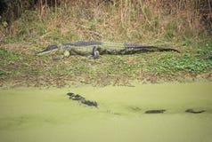 Alligatore americano, cercante isola, Sc, alligatore Mississippietes Immagine Stock Libera da Diritti