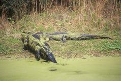 Alligatore americano, cercante isola, Sc, alligatore Mississippietes Fotografia Stock Libera da Diritti