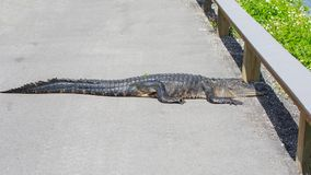 Alligatore americano che attraversa la strada Fotografia Stock Libera da Diritti