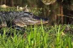 Alligatore americano che cammina all'acqua nei terreni paludosi di Flo Fotografia Stock Libera da Diritti