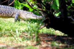Alligatore americano che cammina in Florida del sud Fotografie Stock Libere da Diritti