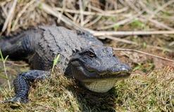 Alligatore americano che espone al sole, riserva del cittadino della palude di Okefenokee Immagine Stock Libera da Diritti