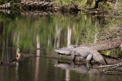 Alligatore americano che espone al sole sul ceppo Fotografie Stock