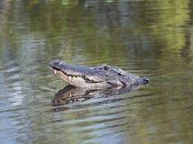 Alligatore americano che guarda dall'acqua Immagine Stock Libera da Diritti