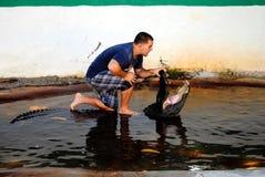 Alligatore americano che lotta nel parco nazionale dei terreni paludosi Fotografia Stock