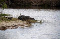 Alligatore americano che passeggia Immagine Stock