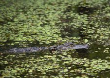 Alligatore americano che passeggia attraverso il ramo paludoso di fiume Fotografia Stock